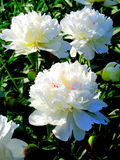 Beautiful white peonies. Shrub of blossoming peony flowers in the garden Stock Photography