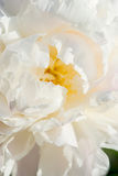 Beautiful white peonies Stock Images