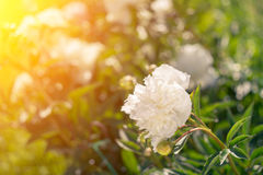 Beautiful white peonies on a sunny green bokeh background. Stock Image