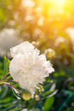 Beautiful white peonies on a sunny green bokeh background. Stock Photography