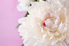 Beautiful white peony Royalty Free Stock Photography