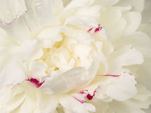 Beautiful white peony flower center Royalty Free Stock Images