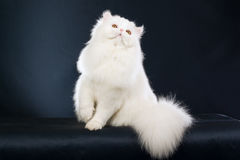 Beautiful white Persian on black background Royalty Free Stock Image