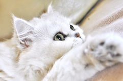 Beautiful white persian cat resting Stock Photos