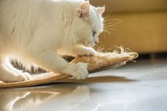 White cat and scratching post. Beautiful white persian cat and scratching post royalty free stock images