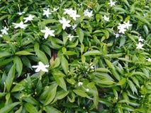 Tiny white garden flowers stock photo