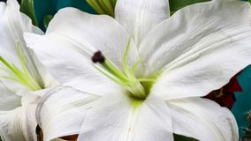 A beautiful white petals. Flower Stock Photography