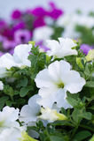 Beautiful white petunia flowers. Royalty Free Stock Image