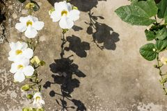 Lovely white petunia flowers descend down the wall stock photography