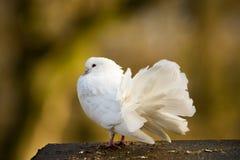 Beautiful white pigeon Royalty Free Stock Photo