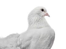 Beautiful White Pigeon Stock Photo