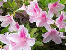 Beautiful White and Pink Azaleas Royalty Free Stock Photography