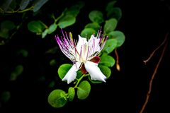 Beautiful white pink Capparis spinosa flower with green leaves on black background royalty free stock photo