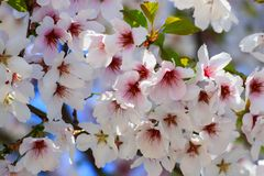 Beautiful white and pink cherry flowers bloomed on a tree in spring. Cherry blossoms, fruit tree, close-up royalty free stock images