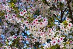 Beautiful white and pink cherry flowers bloomed on a tree in spring. Cherry blossoms in the garden, fruit tree stock images