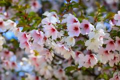 Beautiful white and pink cherry flowers bloomed on a tree in spring. Cherry blossoms in the garden, fruit tree, close-up royalty free stock photos
