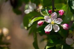 Beautiful white and pink flowers on apple tree branch. Bloomimg apple tree in spring garden. Blossom and gardening concept. royalty free stock image