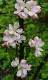 Beautiful white-pink flowers of an apple tree on a branch in spring,after the rain royalty free stock images