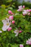 Beautiful white-pink flowers of an apple tree on a branch in spring,after the rain stock images