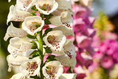 Beautiful white and pink flowers in Thailand. White and pink flowers in flower festival, Thailand Royalty Free Stock Image