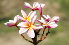 Beautiful white and pink flowers in thailand, Lan thom flower,Frangipani,Champa. Royalty Free Stock Photos