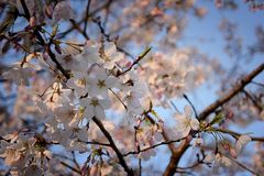 Beautiful white and pink fruit tree blossom clusters  in spring time, perfect nectar for bees. Close up view of fruit tree flowers. Floral background in stock images
