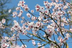 Beautiful White And Pink Japanese Cherry Blossom Trees In Full Bloom In The Sun With Blue Sky stock images