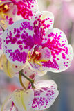 Beautiful white and pink orchid Stock Photo