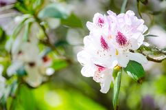 Beautiful white pink Pacific rhododendron flowers in a spring season at a botanical garden. royalty free stock photography