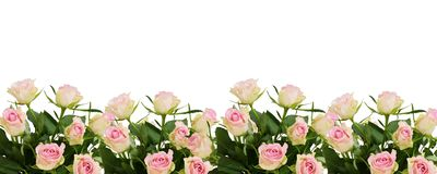 Beautiful white and pink roses flowers border Stock Photography