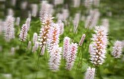 Beautiful white pink summer flowers- Pontederia cordata.  Stock Photography