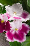 Beautiful white with pink variety of African violets  close-up Stock Images