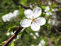 Plum tree flower in spring, Lithuania Stock Photo