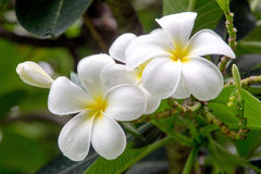 Beautiful white plumeria flowers. Beautiful white plumeria flowers in the garden Stock Image