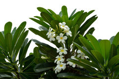 Beautiful White Plumeria isolated Royalty Free Stock Photos