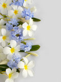 Beautiful white plumeria and purple flower Stock Image