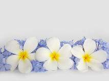 Beautiful white plumeria and purple flower Royalty Free Stock Photo