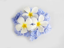 Beautiful white plumeria and purple flower Royalty Free Stock Photography
