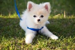 Beautiful white pomeranian puppy purebred green grass Stock Image