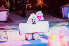 Beautiful white poodle holds  poster in his teeth. Dog in the circus. Cute white poodle sits on the carpet of the circus arena and holds a poster in his mouth Royalty Free Stock Image