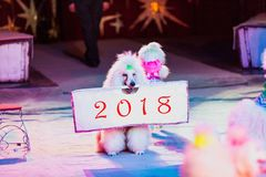 Beautiful white poodle holds  poster in his teeth. Dog in the circus. Cute white poodle sits on the carpet of the circus arena and holds a poster in his mouth Royalty Free Stock Photo