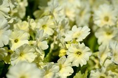Beautiful white primula pubescens flowers in summer Stock Photos