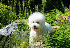 Beautiful white puppy of bichon frize breed in the flowerbed. Portrait of a dog in grass and flowers. Royalty Free Stock Image