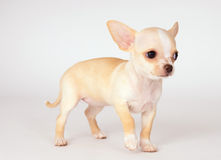 Beautiful white puppy Chihuahua carefully look Royalty Free Stock Photos