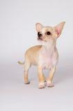 Beautiful white puppy Chihuahua carefully look Stock Photo