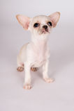 Beautiful white puppy Chihuahua carefully look Stock Photos