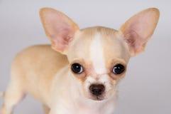 Beautiful white puppy Chihuahua looks on you Stock Photo