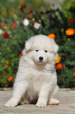 Beautiful white puppy portrait Royalty Free Stock Images