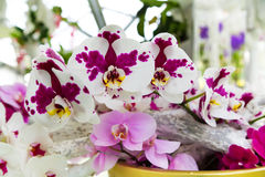 Beautiful white and purple orchid flower background close-up Royalty Free Stock Images