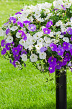 Beautiful white and purple petunia flowers Royalty Free Stock Photo